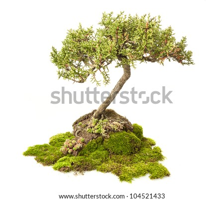 Cupressus sempervirens bonsai isolated on white