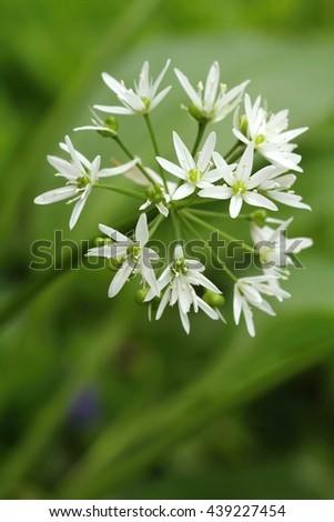 Curative Allium ursinum - stock photo