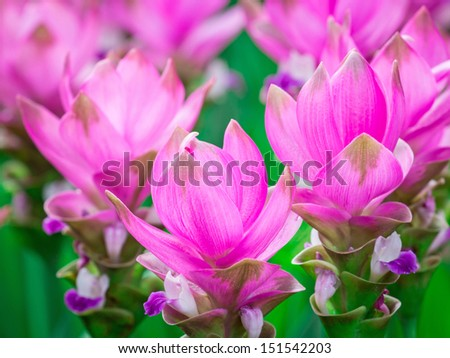 Curcuma alismatifolia, Siam tulip or summer tulip or dok krajiao is a tropical plant native to eastern Thailand (Chaiyaphum Province) and Cambodia.