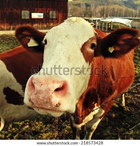 Curiosity cow on Alpine farm , Alps mountains, Austria in early spring. Selective focus, instagram effect - stock photo