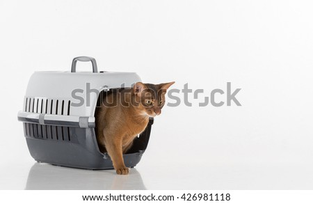 Curious Abyssinian cat going out of the box and looking out. White background with reflection. - stock photo