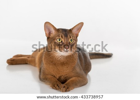 Curious Abyssinian cat lying on ground. Isolated on white background