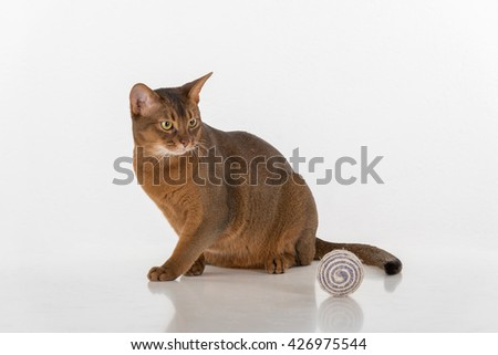 Curious Abyssinian cat sitting on the ground. Toy Ball. Ready to attack. White background with reflection. - stock photo