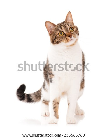 Curious adult tabby with long moustaches over white background - stock photo