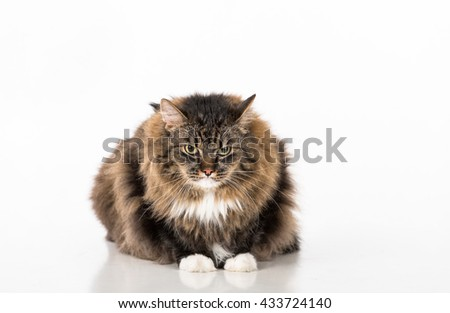 Curious and Angry Dark Cat Lying on the white table. Portrait. White background.