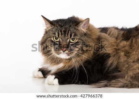 Curious and Angry Dark Cat Lying on the white table. Portrait. White background. Looking Straight