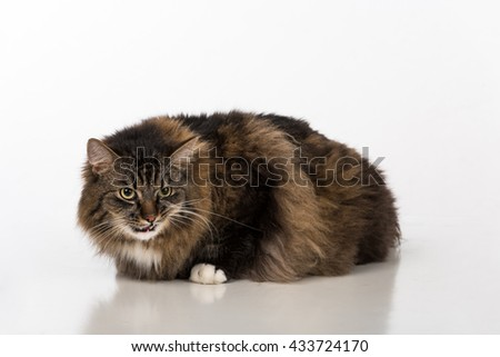Curious and Angry Dark Cat Sitting on the white table. White background.