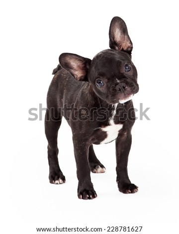 Curious and attentive French Bulldog with tilted head looks at the camera.