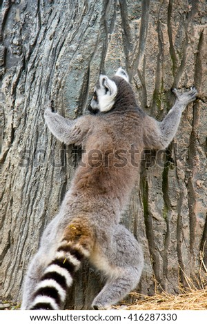 curious and funny animals - lemurs