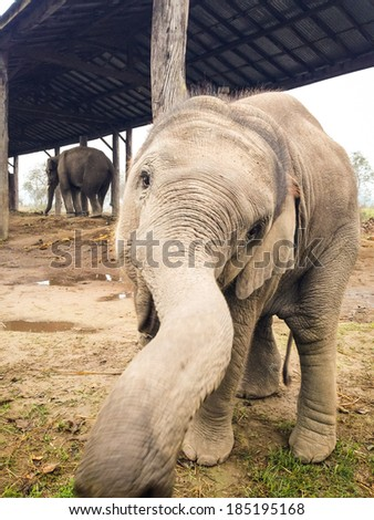 Curious and playful baby elephant in the elephant breeding centre on the edge of Bardia National Park, Nepal investigates the camera - stock photo