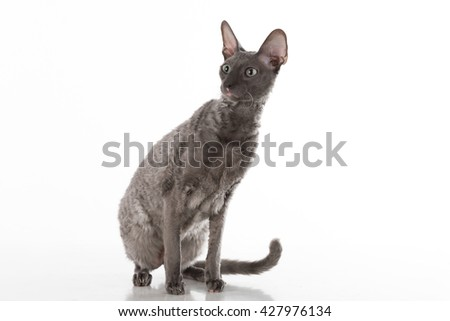 Curious and Scared Black Cornish Rex Cat Sitting on the White Table with Reflection. White Background. Portrait. Looking Right. - stock photo