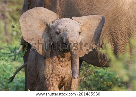 Curious baby elephant. - stock photo