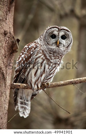 Curious Barred Owl looking at the camera. - stock photo