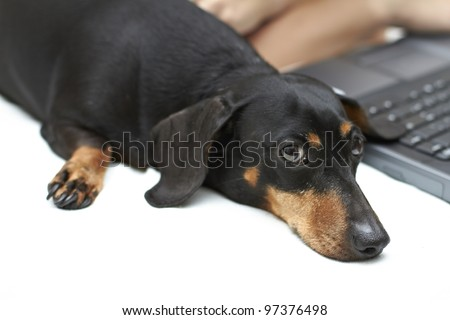 Curious black and brown shaded Dachshund breed - stock photo