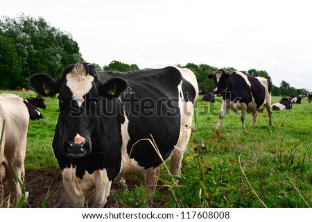 Curious black and white Holstein cow