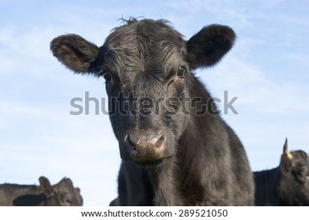 Curious Black Angus calf - stock photo