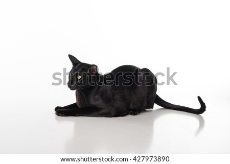 Curious Black Oriental Shorthair Cat Lying on White Table with Reflection. White Background. Long Tail.