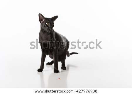 Curious Black Oriental Shorthair Cat Sitting on White Table with Reflection. White Background. Food on the Ground. - stock photo