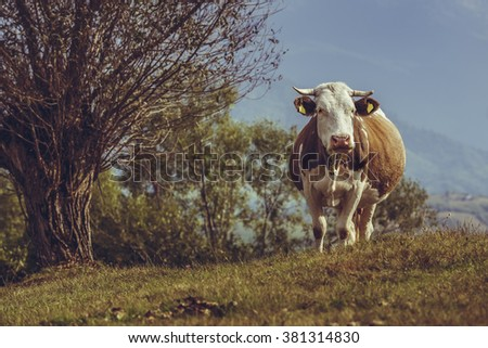 Curious brown Dutch breed cow with bell on a grassland in Transylvania, Romania. Traditional cattle breeding in natural environment. - stock photo