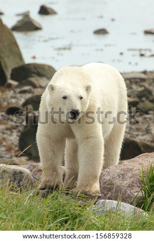 Curious Canadian Polar Bear walking along the shore of the Hudson Bay near Churchill, Manitoba, in summer - stock photo