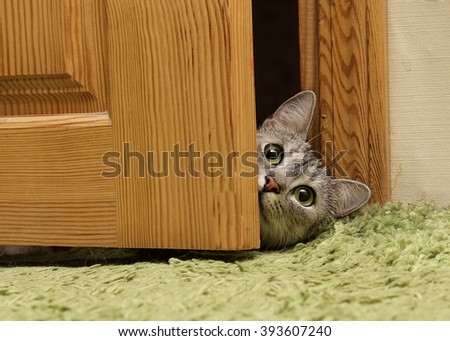 Curious cat looking between doors, funny curious grey cat, naughty cat looking straight to the camera, green eyes cat - stock photo