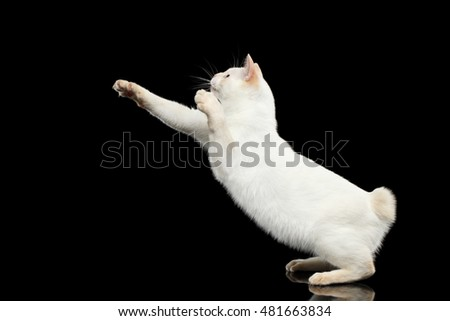 Curious Cat of Breed Mekong Bobtail without tail, Jumping to Catch prey Isolated Black Background, Color-point White Fur