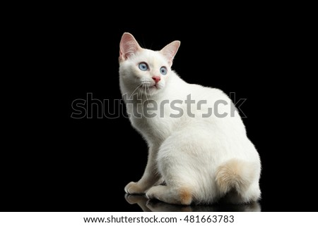 Curious Cat of Breed Mekong Bobtail without tail, Sits, Turned back and Looking up, Isolated Black Background, Color-point White Fur