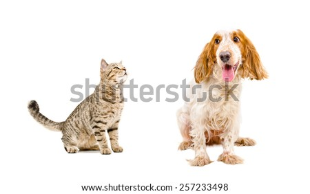 Curious cat Scottish Straight and dog  breed Russian spaniel sitting isolated on white background - stock photo
