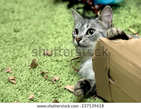 Curious cat with christmas box, cat playing with the box on Christmas time, domestic young cat, young playing cat - stock photo