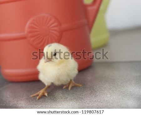 curious chick