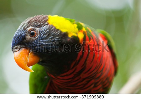 curious colorful lory bird parrot looking in detail in singapore park