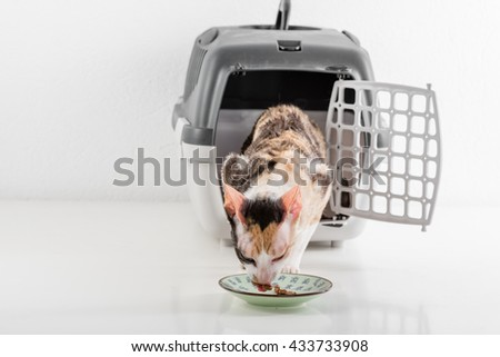 Curious Cornish Rex Cat Looking out of the box on the White table with Reflection and eat food. White Wall Background. - stock photo