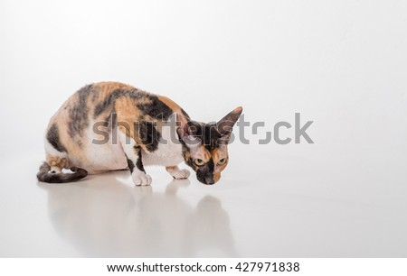 Curious Cornish Rex Cat Lying on the White Desk. White Background. Looking Right