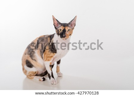 Curious Cornish Rex Cat Sitting on the White Desk. White Background. Lookig Up.