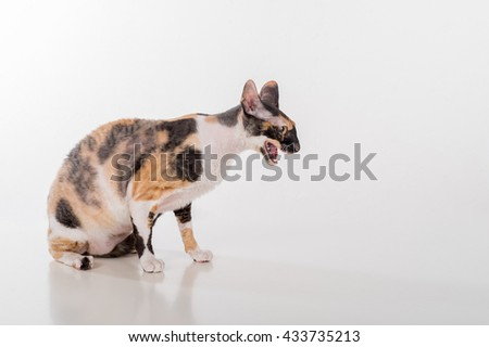 Curious Cornish Rex Cat Sitting on the White Desk. White Background. Open Mouth.