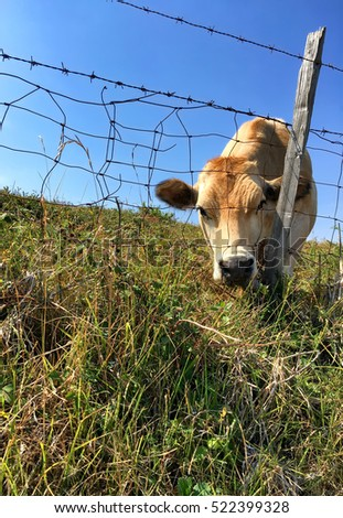 curious cow