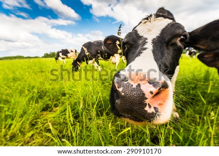 Curious cow close-up on a green meadow. Focus on the nose - stock photo
