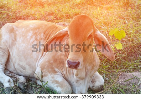 Curious cow eating grass at the field