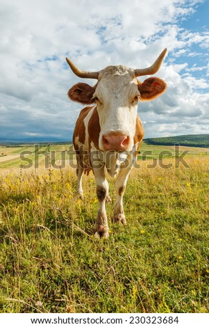 Curious cow staring on summer field - stock photo