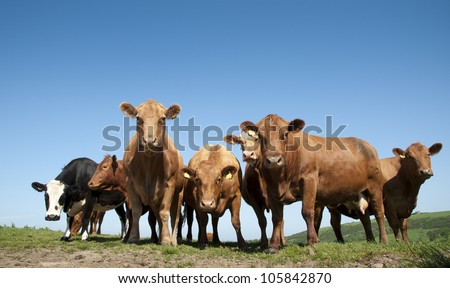 Curious Cows - stock photo