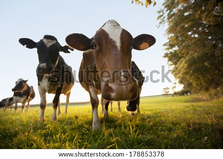 Curious cows grazing in a field.  This photo has shallow depth of field. - stock photo