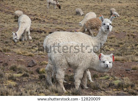 Curious Cute Alpacas pasture on the Andes grassland in Peru. Animal theme. - stock photo