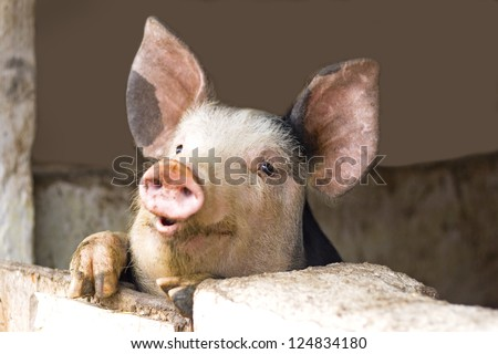 curious cute pigs - stock photo