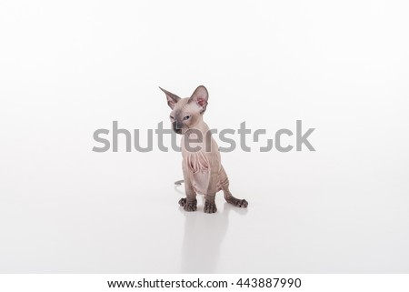 Curious Dark Very Young Peterbald Sphynx Cat Sitting on the white table with reflection and Looking Left