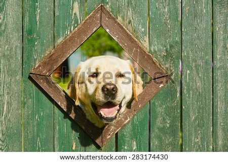 Curious dog is looking from window in wooden fence - stock photo