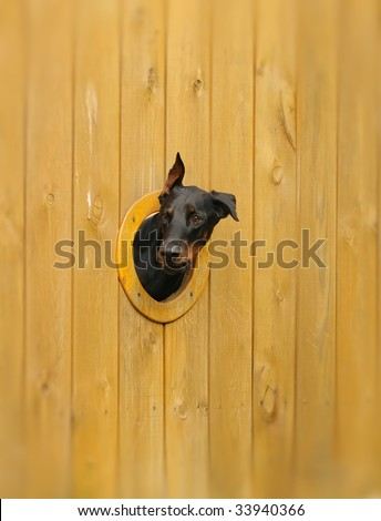 Curious dog looking from the hole in the fence - stock photo