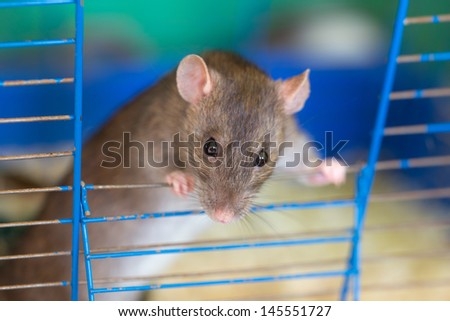 curious domestic rat in a cage close up