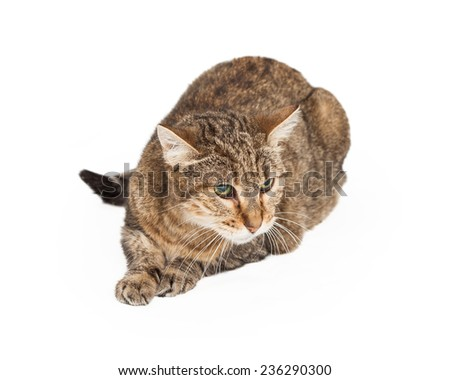 Curious Domestic Short-hair Mix Breed Cat laying while looking off to the side.  - stock photo