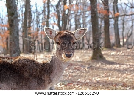 curious fallow deer doe ( dama dama )  in the middle of the forest