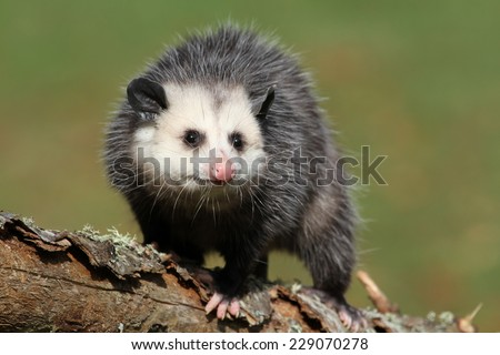 curious female possum on branch - stock photo